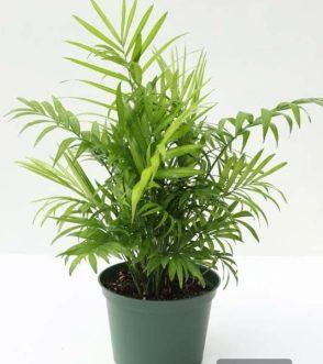Centrascape - Houseplant - Parlour Palm