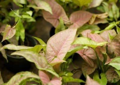 Centrascape - Houseplant - Syngonium 2
