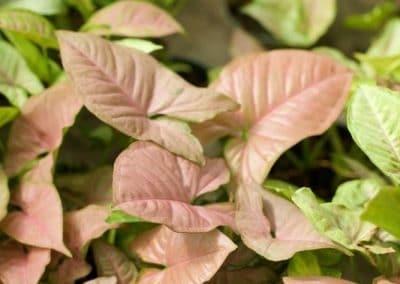 Centrascape - Houseplant - Syngonium 3