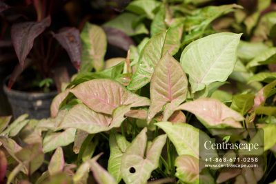 Centrascape - Houseplant - Syngonium
