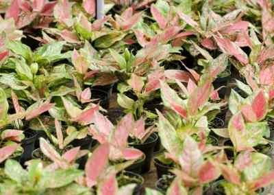 Centrascape - Houseplants - Aglaonema 3