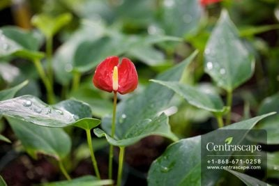 Centrascape - Houseplants - Anthurium