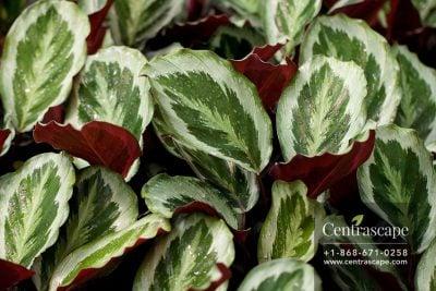 Centrascape - Houseplants - Calathea