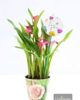 Centrascape - Houseplants - Calla Lily Botanic Vibes