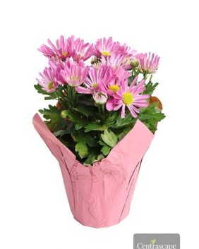Centrascape - Houseplants - Chrysanthemums