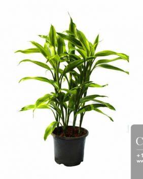 Centrascape - Houseplants - Dracena sanderiana gold