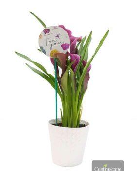Centrascape - Houseplants - Elegant Calla Lily
