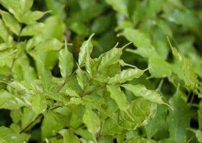 Centrascape - Houseplants - Leea 1