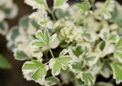 Centrascape - Houseplants - Mini Aralia 1