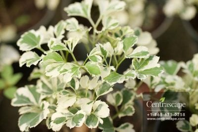 Centrascape - Houseplants - Mini Aralia