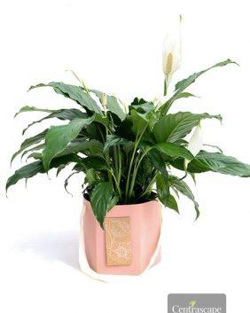 Centrascape - Houseplants - Peace Lily