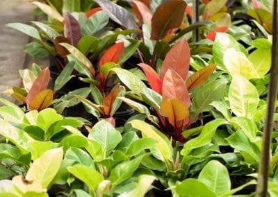 Centrascape - Houseplants - Philodendron 3