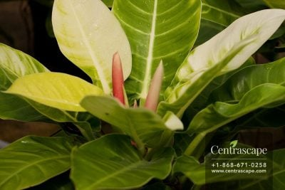 Centrascape - Houseplants - Philodendron