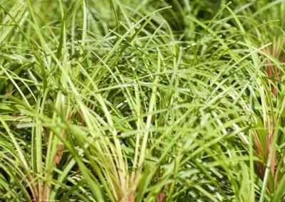 Centrascape - Houseplants - Ponytail Palm 1