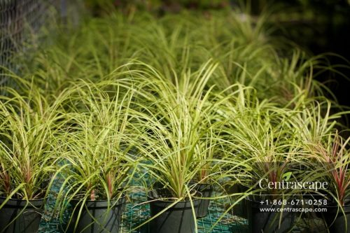 Centrascape - Houseplants - Ponytail Palm