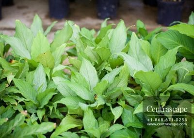 Centrascape - Houseplants - Spathiphyllum 1