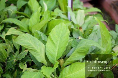 Centrascape - Houseplants - Spathiphyllum