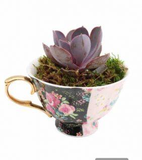 Centrascape - Houseplants - Succulent