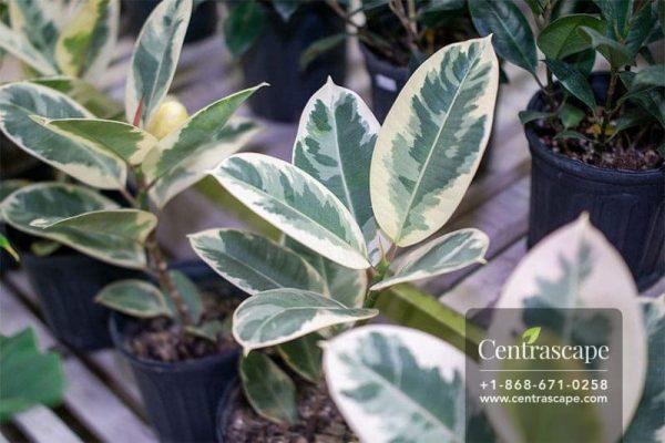 Centrascape - Houseplants - Tineke Rubber Ficus