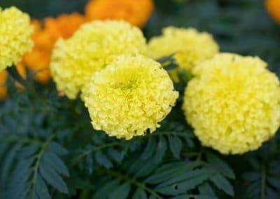 Centrascape - Marigold 1
