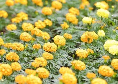 Centrascape - Marigold 2