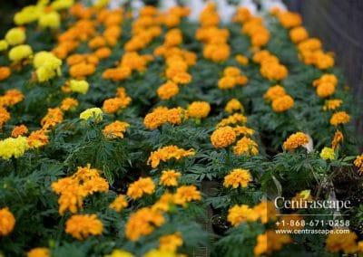 Centrascape - Marigold 3