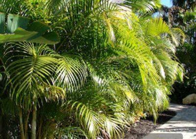 Centrascape---Palms---Areca 1