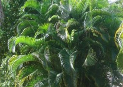 Centrascape---Palms---Areca 2
