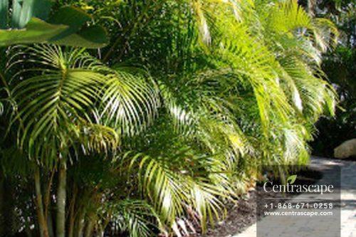 Centrascape---Palms---Areca
