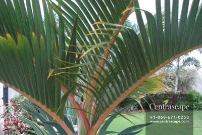 Centrascape - Palms - Bottle Palm