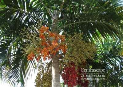 Centrascape - Palms - Carpentaria 1