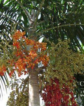 Centrascape - Palms - Carpentaria