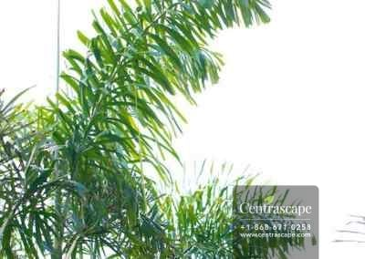 Centrascape---Palms---Fox-Tail 2