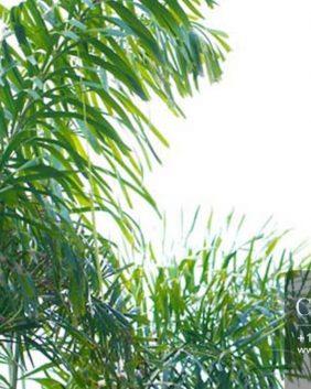Centrascape---Palms---Fox-Tail
