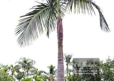Centrascape - Palms - King Palm 1