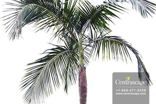 Centrascape - Palms - King Palm