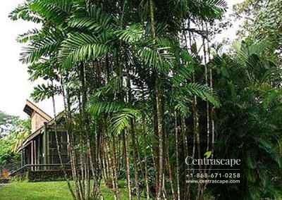 Centrascape - Palms - MacArthurs 1