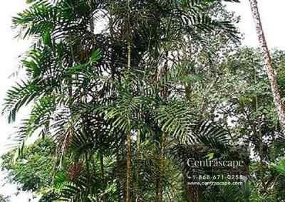 Centrascape - Palms - MacArthurs 2