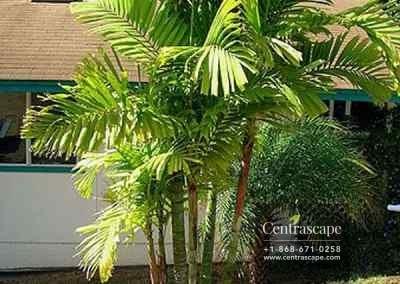 Centrascape - Palms - MacArthurs 3