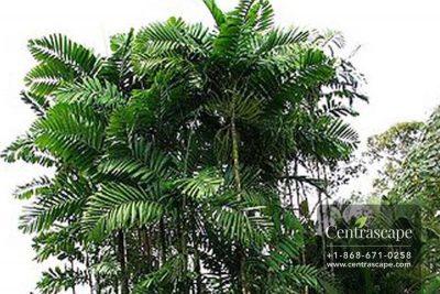 Centrascape---Palms---MacArthurs