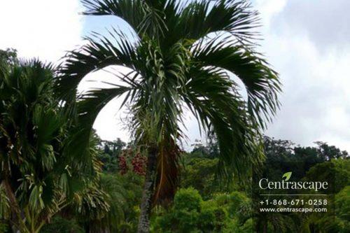 Centrascape---Palms---Manila
