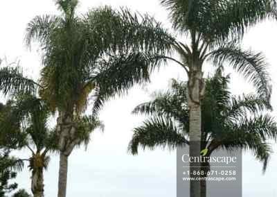 Centrascape - Palms - Queen 1