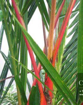 Centrascape---Palms---Red-Stem---Lipstick