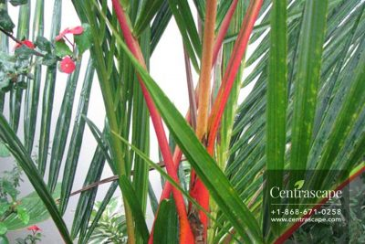 Centrascape---Palms---Red-Stem---Lipstick
