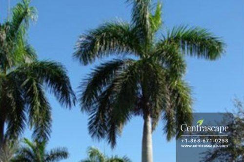 Centrascape - Palms - Royal