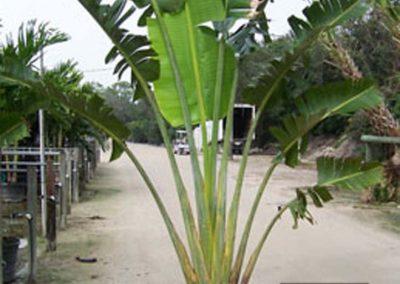 Centrascape - Palms - Travellers 2