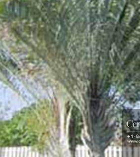 Centrascape - Palms - Triangle