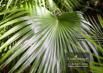 Centrascape - Palms - Chinese fan 1