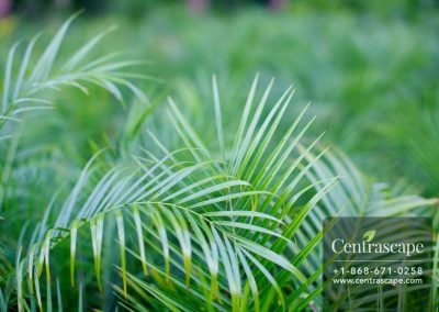 Centrascape - Pamls - Pygmy Date 2