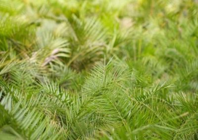 Centrascape - Pamls - Pygmy Date 3